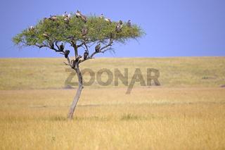 Schirmakazie (Acacia tortilis) mit verschiedenen Geierarten vor