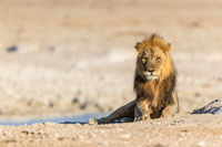 Male Lion (Panthera leo) in Namibia