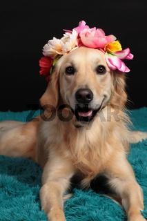 Golden retriever dog with a flower headset