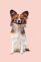 papillon or Butterfly Dog
