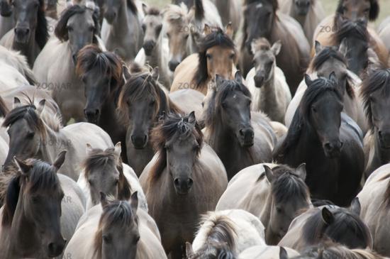 Duelmen Ponies, wild herd of horses, Germany