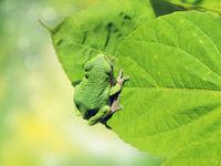 American Green Tree Frog on a leaf