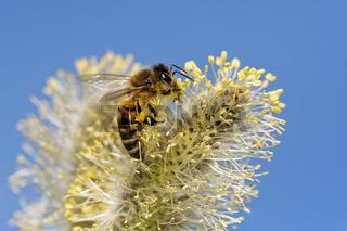 Biene am Widenkätzchen