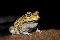 Close-up of an olive toad (Amietophrynus garmani)