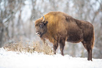 Hungry wood bison eating dry grass in the snowy wilderness