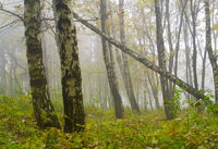 Autumn birch forest path during misty morning