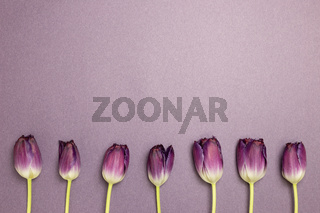 Purple tulip flowers on purple background. flat lay, top view, copy space