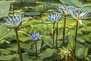 Blue Water Lily Nymphaea caerulea