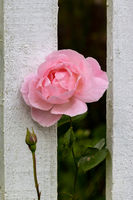 Pink Rose flowering through a white wooden fence