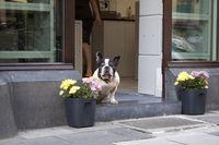 French Bulldog, Brüsseler Str., Cologne, NRW, Rhineland