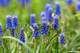 Grape hyacinth Muscari flowers.