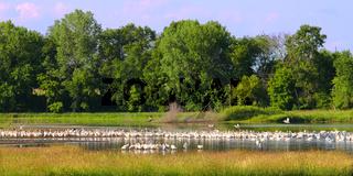 American White Pelicans in Illinois