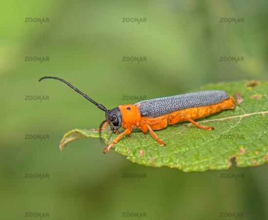 Eyed longhorn beetle  'Oberea oculata'