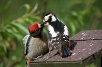 Great spotted woodpecker feeding his child