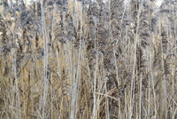 Textured photograph of Pond Reeds. Vertical lines.