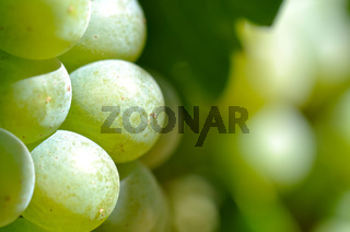 Green Grapes Close Up in Napa Valley Ready to be made into Wine