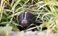 Baby Skunk in Den