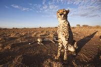 Gepard, Namibia