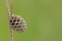 Nest einer Feldwespe