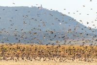 Cloud of starlings.Thousands of starlings synchronize their flight.