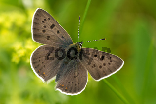 Brauner Feuerfalter (Lycaena tityrus)