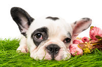 French bulldog puppy isolated on white