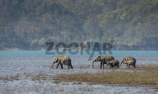Elephants in Ramnanga River, Dhikala, Corbett, India