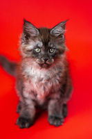 Little cute kitty of American Longhair of color black smoke sits on red background, looks at camera