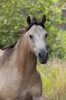 horse, quarter horse