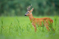 Roe deer buck standing on a green grassland in summertime nature