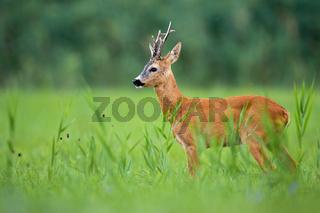 Roe deer buck standing on a green grassland in summertime nature