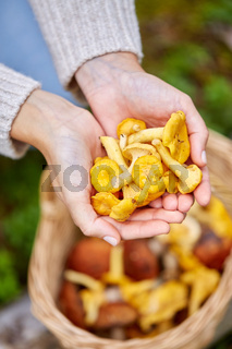 close up of woman holding chanterelle mushrooms