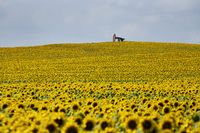 Sunflowers and Pumpjack