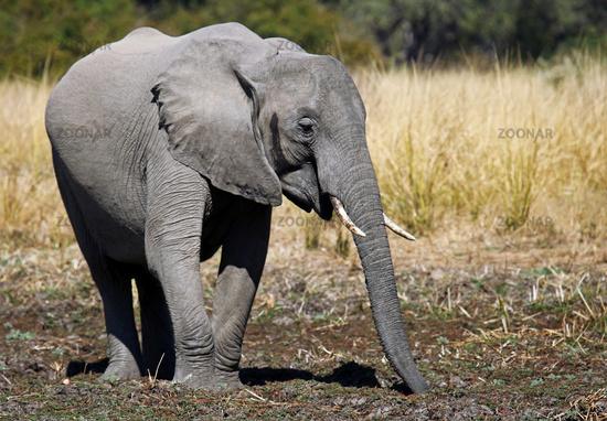 Elephant at South Luangwa National Park, Zambia