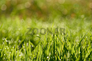 Gras mit Tautropfen auf einer Wiese am frühen Morgen