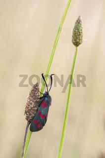 Sechsfleck-Widderchen (Zygaena filipendulae), Deutschland, Six-spot Burnet (Zygaena filipendulae), Germany