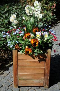 Viola x wittrockiana, Narcissus, Myosotis, im Kasten
