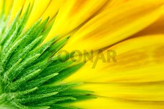 closeup of yellow Gerbera