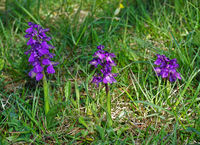 green-winged orchid, green-veined orchid,
