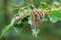 Pest infestation by caterpillars of the large tortoiseshell (Nymphalis polychloros)