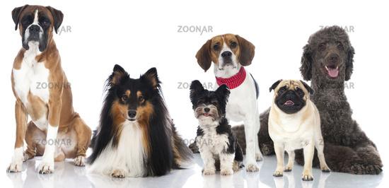 Pedigree dogs