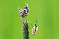 bee flies and grizzled skipper
