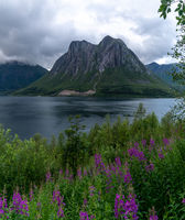 picturesque fjord and mountain landscape with lilac flowers in the foreground in North Norway