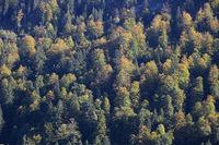 Colorful autumn forest in Schwyz Canton.