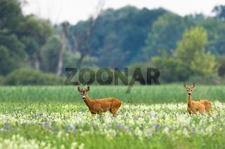 Couple of roe deer walking on blooming meadow in summer