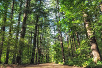 Woljeongsa fir tree forest trail