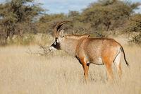A rare roan antelope (Hippotragus equinus) in natural habitat