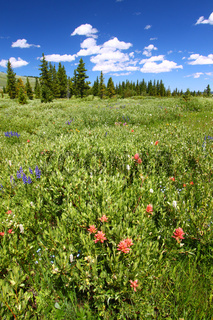 Bighorn National Forest Wildflowers