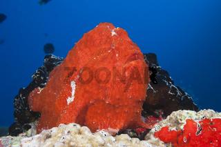 Roter Riesen-Anglerfisch, Malediven