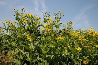 Silphium perfoliatum, Durchwachsene Silphie, Cup Plant